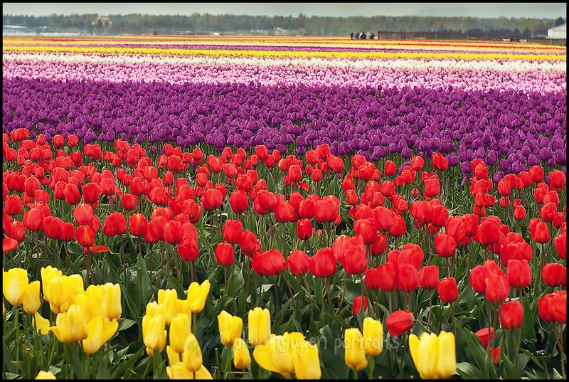 tulip1WM