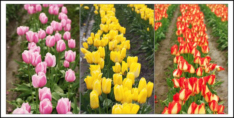 tulipsSB4WM
